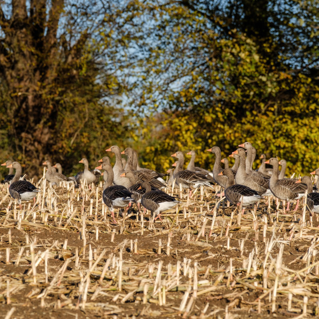 """""""Pink Footed Geese"""" stock image"""
