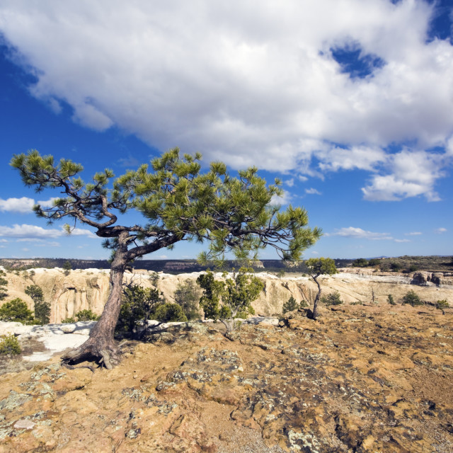 """Lonely Tree in El Morro National Monument"" stock image"