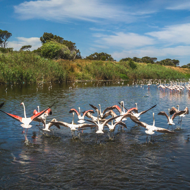 """""""Flamingos and other waterbirds share space on on the Black River. Cape Town, South Africa."""" stock image"""