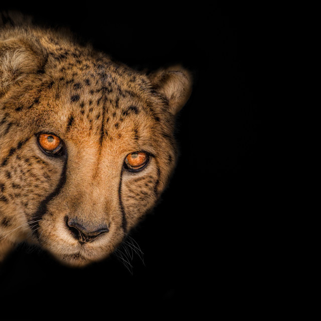 """African Cheetah"" stock image"