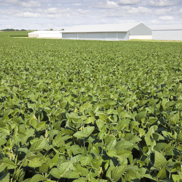 """Green soybean field"" stock image"
