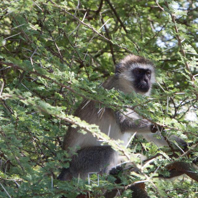 """Vervet Monkey"" stock image"