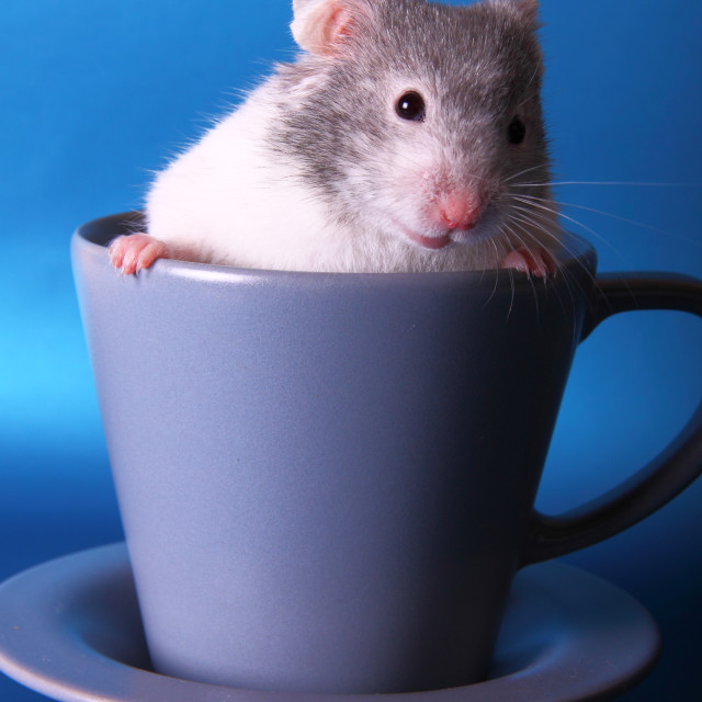 """Syrian hamster in a teacup"" stock image"