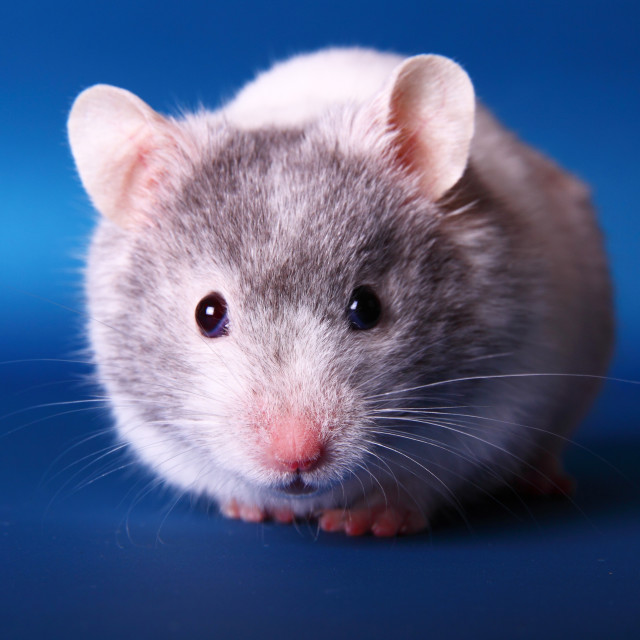 """Syrian hamster isolated on a blue background"" stock image"
