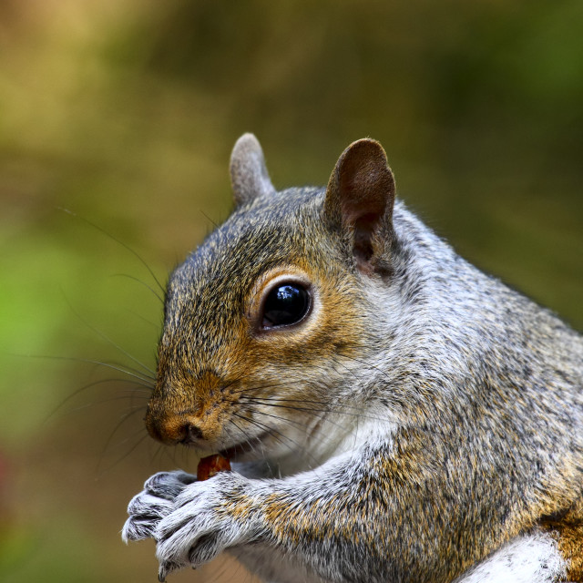 """Gray squirrel eating a peanut in a park"" stock image"