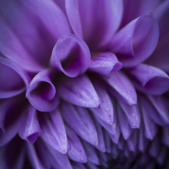 """Dahlia Flower 1"" stock image"