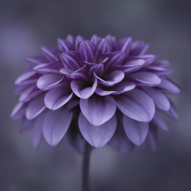 """Dahlia Flower 4"" stock image"