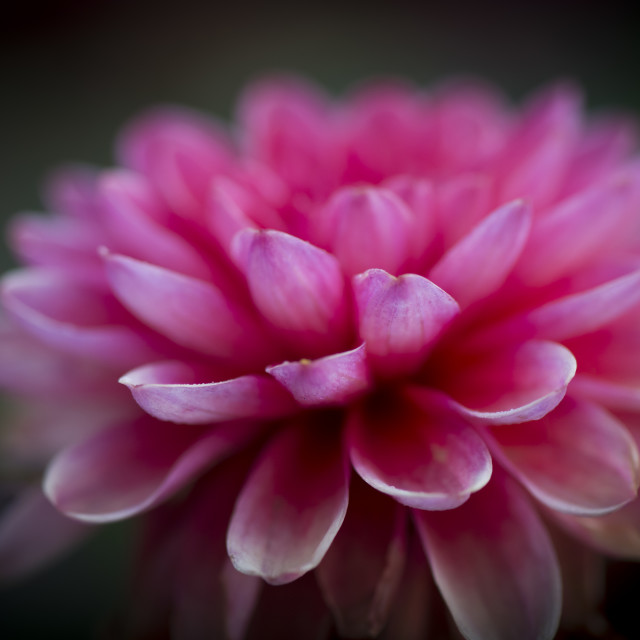 """Dahlia Flower 3"" stock image"
