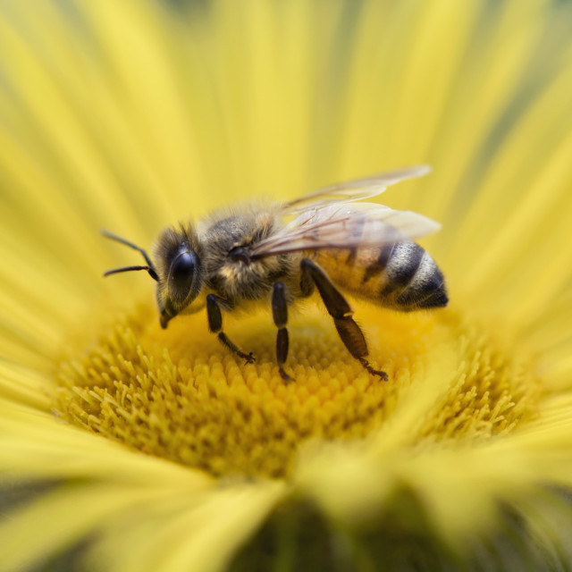"""Honey Bee Macro"" stock image"
