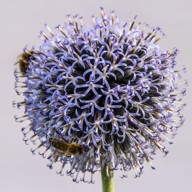"""Globe Thistle"" stock image"