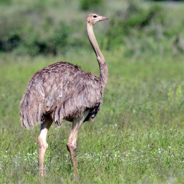 """""""Somali Ostrich, Struthio molybdophanes"""" stock image"""
