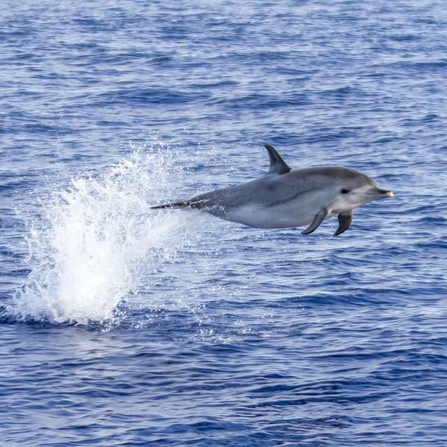 """Atlantic spotted dolphin, Atlantische Gevlekte Dolfijn, Stenella frontalis"" stock image"
