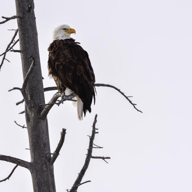 """""""Bald Eagle, Amerikaanse zeearend, Haliaeetus leucocephalus"""" stock image"""