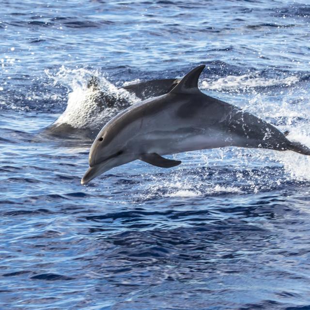 """""""Common Bottlenose Dolphin, Tuimelaar, Tursiops truncatus"""" stock image"""