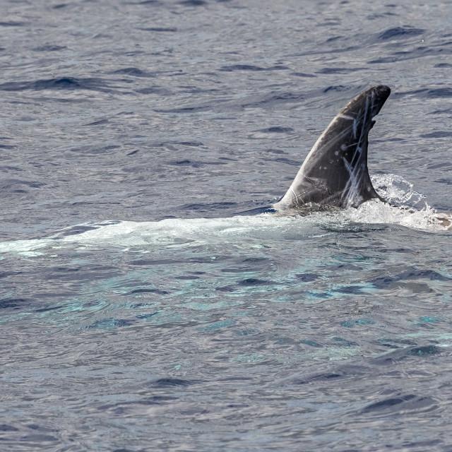 """Risso's Dolphin, Grijze Dolfijn, Grampus griseus"" stock image"