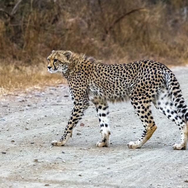 """Namibian Cheetah, Jachtluipaard, Acinonyx jubatus jubatus"" stock image"