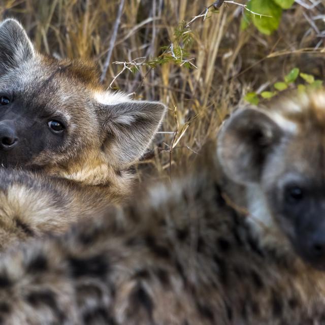 """Spotted Hyena, gevlekte hyena, Crocuta crocuta."" stock image"