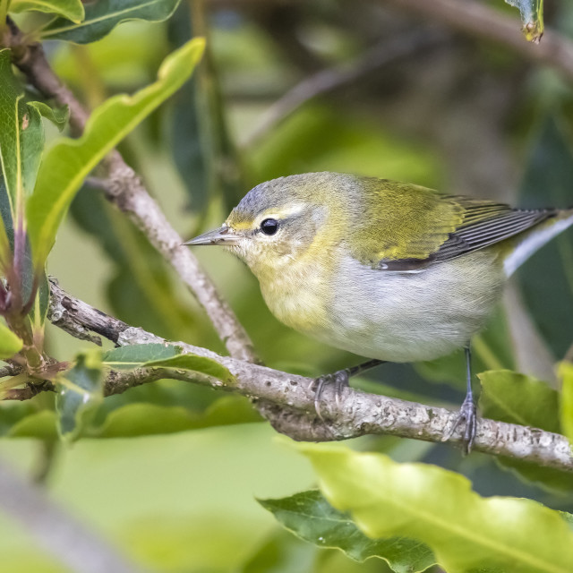 """Tennessee Warbler, Tennesseezanger, Leiothlypis peregrina"" stock image"