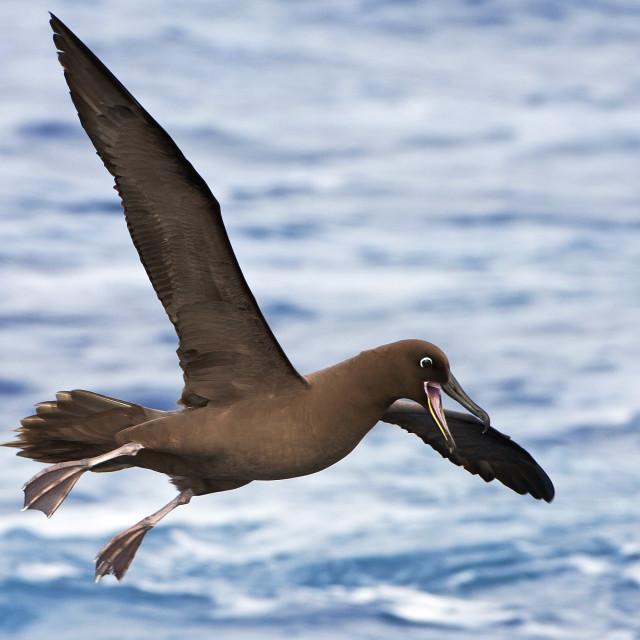 """Zwarte Albatros, Sooty Albatros, Phoebetria fusca"" stock image"