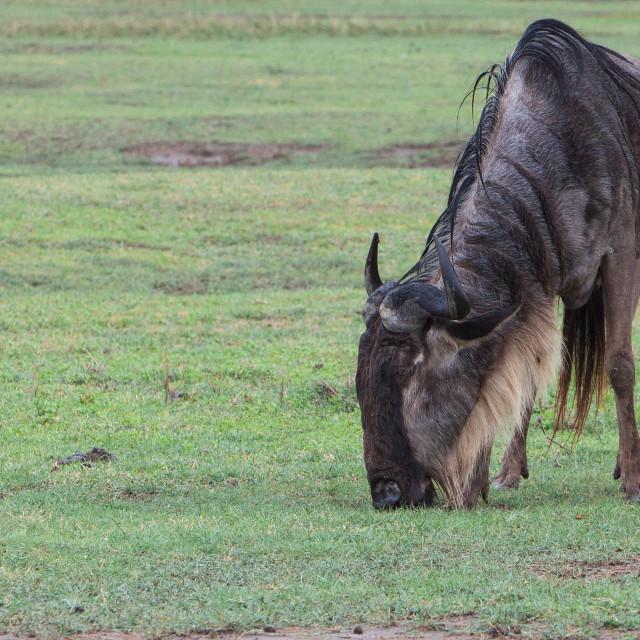 """Western Wildebeest"" stock image"
