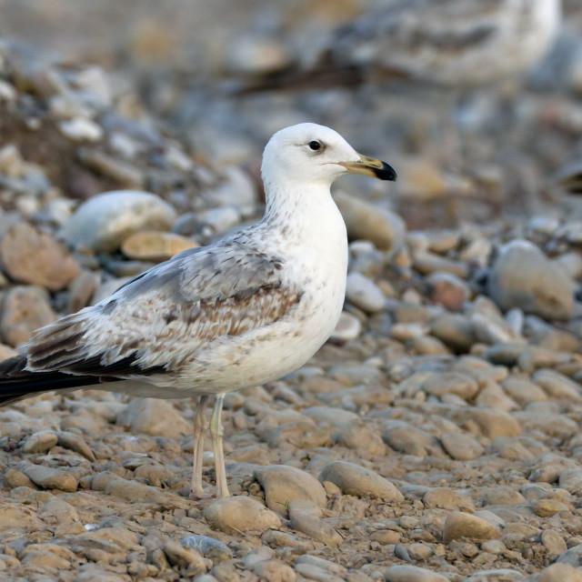 """Armeense Meeuw, Armenian Gull, Larus armenicus"" stock image"