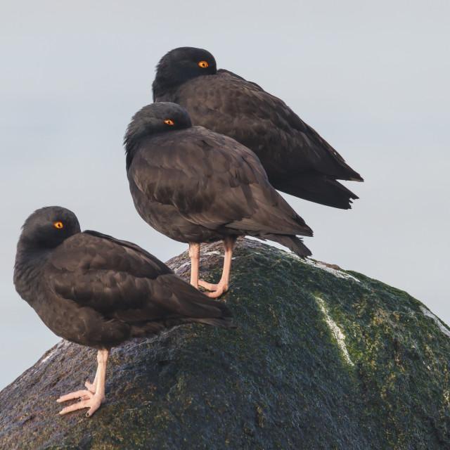 """Noord-Amerikaanse Zwarte Scholekster, Black Oystercatcher, Haematopus bachmani"" stock image"
