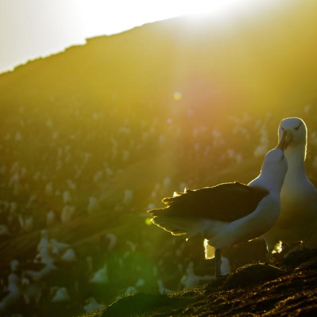"""Black-browed Albatross, Thalassarche melanophris"" stock image"