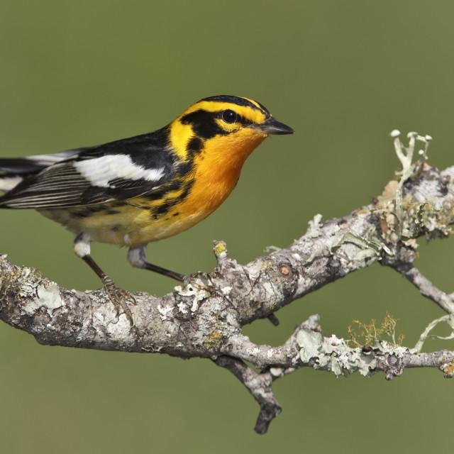 """Oranjekeelzanger, Blackburnian Warbler, Dendroica fusca"" stock image"