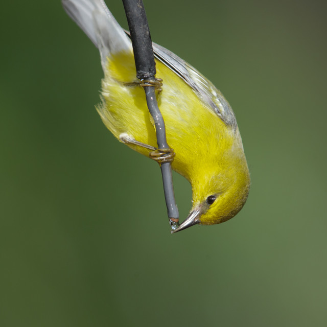 """Blauwvleugelzanger, Blue-winged Warbler, Vermivora cyanoptera"" stock image"