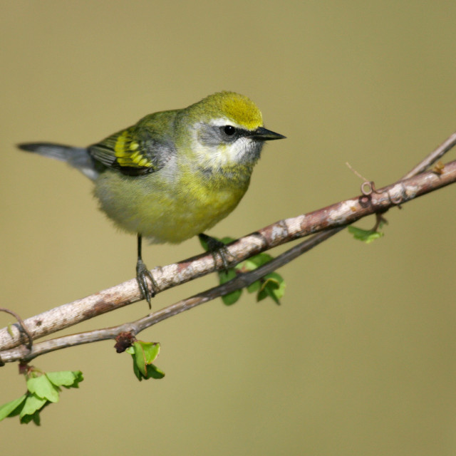 """""""Lawrence's Warbler"""" stock image"""