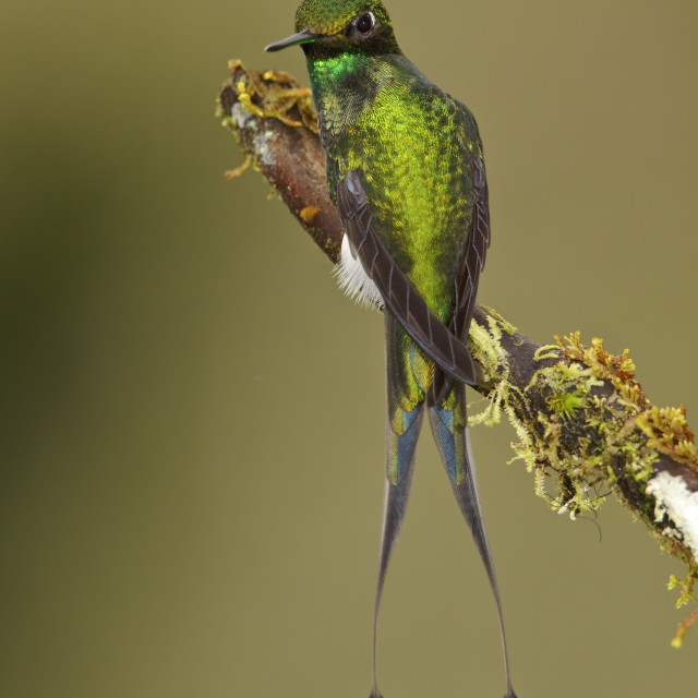 """Booted Racket-tail, Ocreatus underwoodii"" stock image"