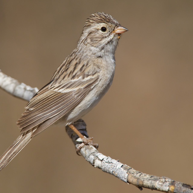 """""""Brewers Gors, Brewer's Sparrow, Spizella breweri"""" stock image"""