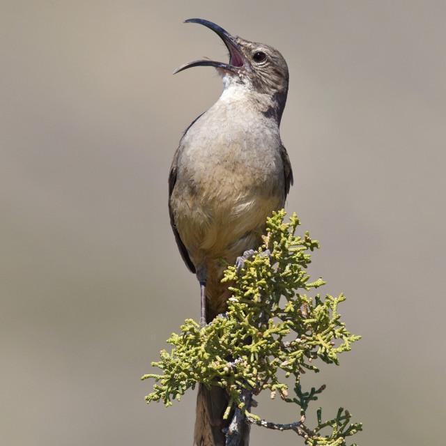 """Californische Spotlijster, California Thrasher, Toxostoma redivivum"" stock image"