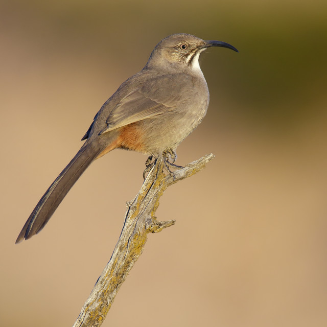 """Roodbuikspotlijster, Crissal Thrasher, Toxostoma crissale"" stock image"