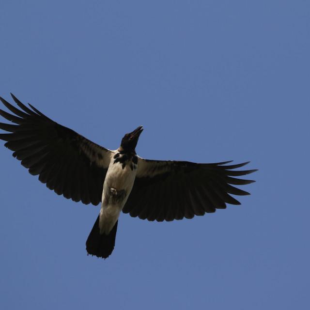 """Mesopotamian Crow, Corvus (cornix) capellanus"" stock image"