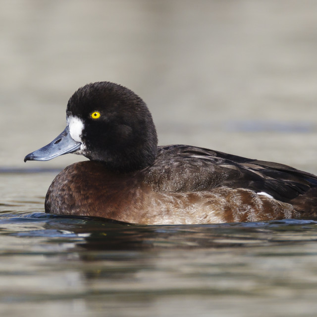 """""""Topper, Greater Scaup, Aythya marila"""" stock image"""