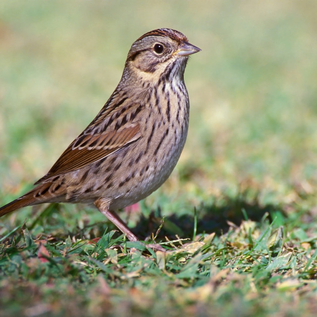 """""""Lincolns Gors; Lincoln's Sparrow; Melospiza lincolnii; vogel; bird; Noord..."""" stock image"""