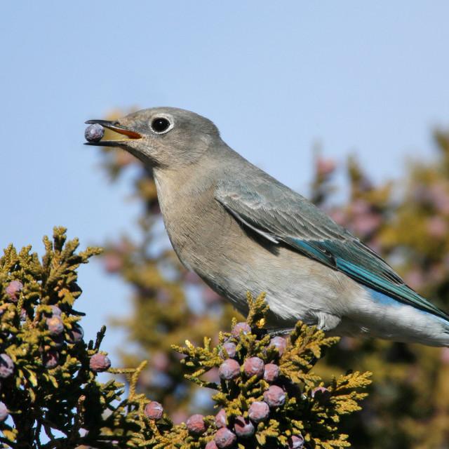 """Bergsialia, Mountain Bluebird, Sialia currucoides"" stock image"