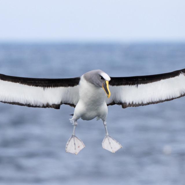"""Northern Buller's Albatross, Thalassarche (bulleri) platei"" stock image"