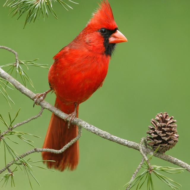 """""""Rode Kardinaal, Northern Cardinal, Cardinalis cardinalis"""" stock image"""
