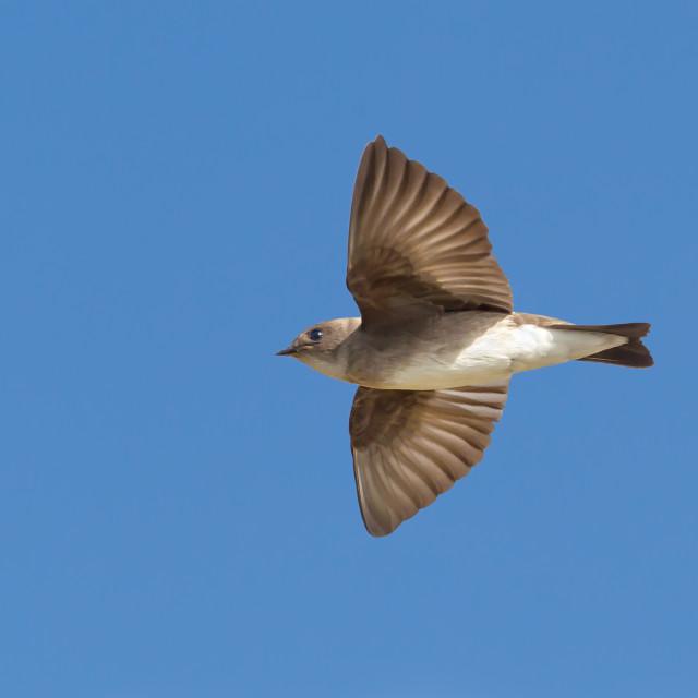 """""""Noord-Amerikaanse Ruwvleugelzwaluw, Northern Rough-winged Swallow,..."""" stock image"""