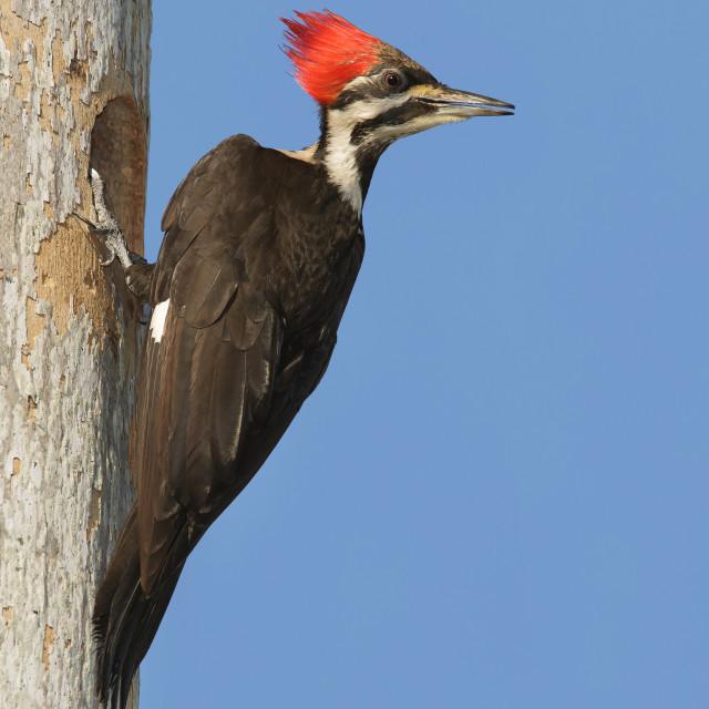 """Noord-Amerikaanse Helmspecht, Pileated Woodpecker, Dryocopus pileatus"" stock image"