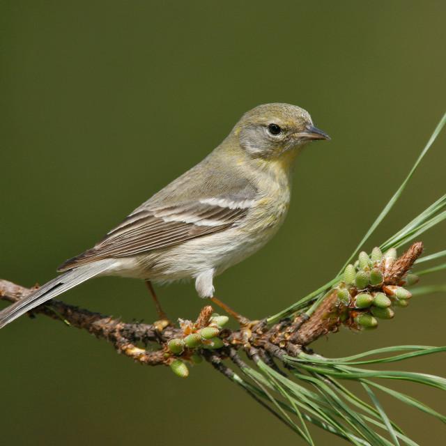 """""""Dennenzanger; Pine Warbler; Setophaga pinus; vogel; bird; Noord Amerika;..."""" stock image"""