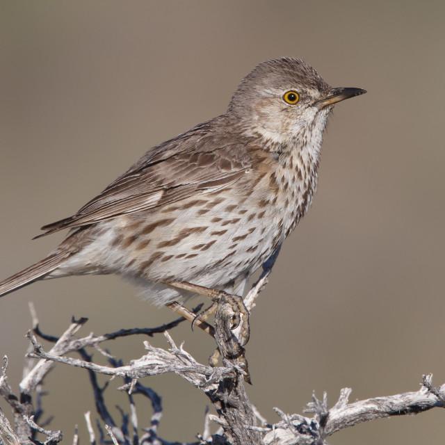 """Bergspotlijster, Sage Thrasher, Oreoscoptes montanus"" stock image"
