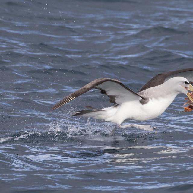 """Salvin's Albatross, Thalassarche salvini"" stock image"
