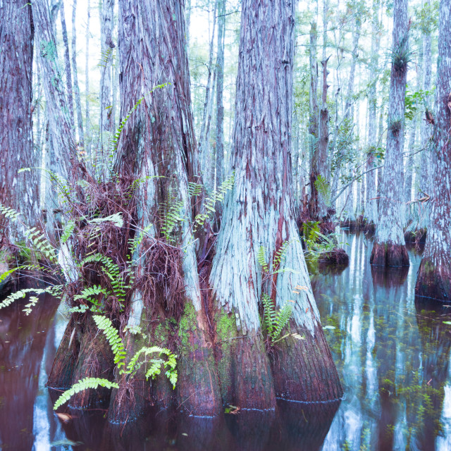 """Everglades Florest #3"" stock image"