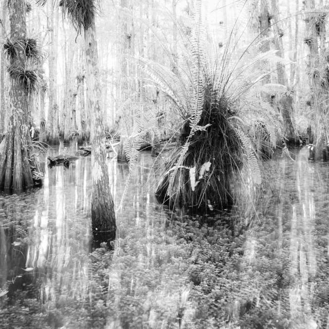 """Everglades High Key #2"" stock image"