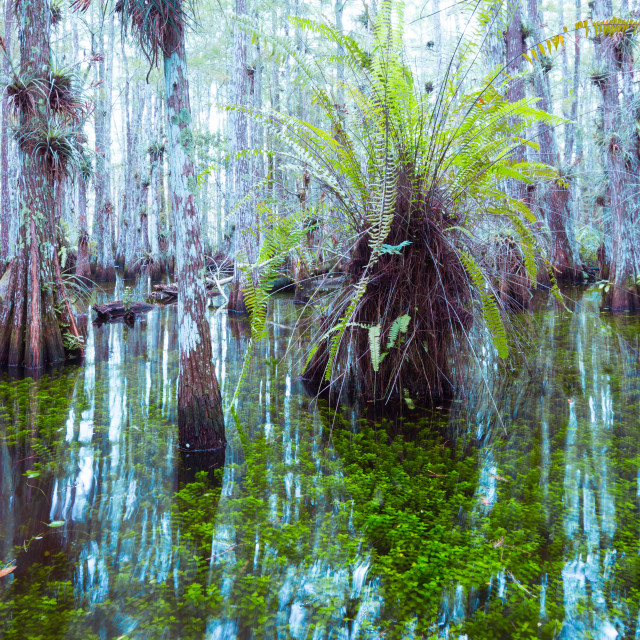 """Everglades´Forest"" stock image"