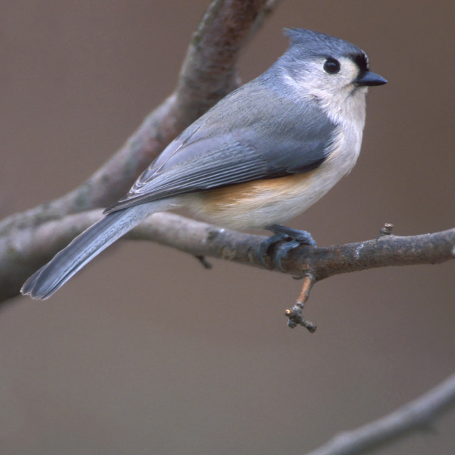 """Tweekleurige Mees, Tufted Titmouse, Baeolophus bicolor"" stock image"