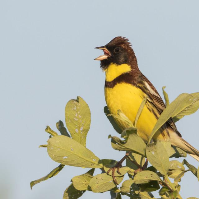 """Wilgengors, Yellow-breasted Bunting, Emberiza aureola"" stock image"